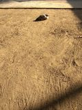 Sun bath chicken. I have a chicken who dont play with other chicken and just sitting all day Royalty Free Stock Photography