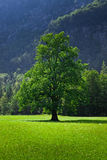 Sun bathed tree Stock Photography