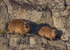 Sun bathing rock hyrax aka Procavia capensis at the Otter Trais at the Indian Ocean. Sun bathing rock hyrax aka Procavia capensis at the Otter Trail at the Stock Photos