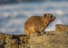 Sun bathing rock hyrax aka Procavia capensis at the Otter Trais at the Indian Ocean. Sun bathing rock hyrax aka Procavia capensis at the Otter Trail at the Stock Photo