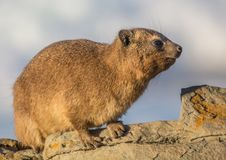 Sun bathing rock hyrax aka Procavia capensis at the Otter Trais at the Indian Ocean. Sun bathing rock hyrax aka Procavia capensis at the Otter Trail at the Royalty Free Stock Photography