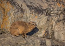 Sun bathing rock hyrax aka Procavia capensis at the Otter Trais at the Indian Ocean. Sun bathing rock hyrax aka Procavia capensis at the Otter Trail at the Royalty Free Stock Photos
