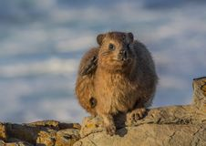 Sun bathing rock hyrax aka Procavia capensis at the Otter Trais at the Indian Ocean. Sun bathing rock hyrax aka Procavia capensis at the Otter Trail at the Royalty Free Stock Images