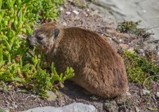 Sun bathing rock hyrax aka Procavia capensis at the Otter Trais at the Indian Ocean. Sun bathing rock hyrax aka Procavia capensis at the Otter Trail at the Stock Photography
