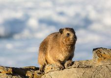 Sun bathing rock hyrax aka Procavia capensis at the Otter Trais at the Indian Ocean. Sun bathing rock hyrax aka Procavia capensis at the Otter Trail at the Royalty Free Stock Image