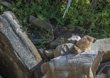 Sun bathing rock hyrax aka Procavia capensis at the Otter Trais at the Indian Ocean. Sun bathing rock hyrax aka Procavia capensis at the Otter Trail at the Stock Images