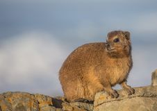 Sun bathing rock hyrax aka Procavia capensis at the Otter Trais at the Indian Ocean. Sun bathing rock hyrax aka Procavia capensis at the Otter Trail at the Stock Image
