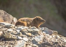 Sun bathing rock hyrax aka Procavia capensis at the Otter Trais at the Indian Ocean. Sun bathing rock hyrax aka Procavia capensis at the Otter Trail at the Royalty Free Stock Photo