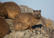 Sun bathing rock hyrax aka Procavia capensis at the Otter Trais at the Indian Ocean Royalty Free Stock Image