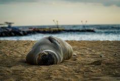 Sun Bathing Seal. On Kaimana beach in Oahu, Hawaii Stock Photography