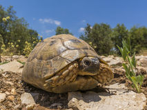 Sun bathing Tortoise from ground level Royalty Free Stock Images