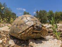 Sun bathing Tortoise from ground level. Single Tortoise on sunny day Royalty Free Stock Images