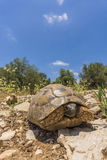 Sun bathing Tortoise from ground level Royalty Free Stock Photography