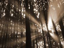 Sun beam in the forest Royalty Free Stock Photos