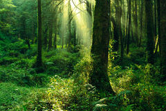 Sun beam in the forest Stock Image
