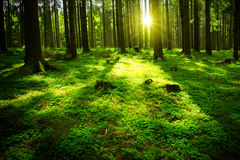 Sun beam in a green forest. Royalty Free Stock Photos