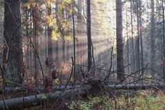 Sun beam in a mist in forest Royalty Free Stock Image