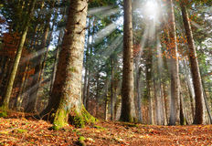 Sun beam in the wood Royalty Free Stock Images