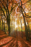 Sun beaming through an autumn forest. Stock Photos