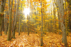 Sun beams. And autumn forest stock image
