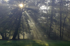 Sun beams. Many sun beams between trees and mist stock photo