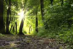 Sun beams. In dark forest royalty free stock photo