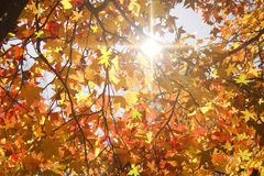 Sun beams and autumn leaves. Royalty Free Stock Photos