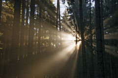 Sun beams in an autumn morning forest Royalty Free Stock Image