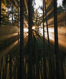Sun beams in an autumn morning forest Royalty Free Stock Images