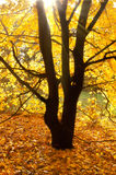 Sun beams on an autumn tree Stock Photography