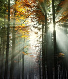 Sun beams in an autumn wood Stock Photo