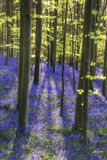 Sun beams through beech trees over vibrant bluebells landscape a Stock Photography
