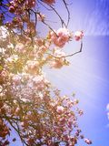 Sun beams and Blossom Royalty Free Stock Photography