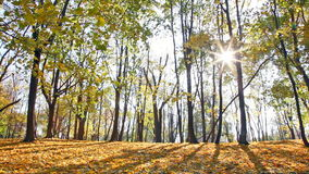 Sun beams through branches of trees in autumn park. During a leaf fall stock video footage