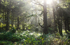 Sun beams bursting through trees. Sun rays beaming through trees in Canon Beach ,Oregon Royalty Free Stock Photography