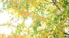 Sun beams come through yellow and green foliage of lime tree stock video