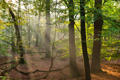 Sun beams in the forest Royalty Free Stock Photo