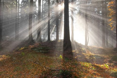 Sun beams in a forest. In the morning stock photo