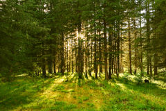 Sun beams in the forest Stock Photos