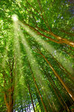 Sun beams and forest Stock Images