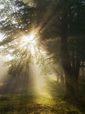 Sun beams in the forest Royalty Free Stock Photography