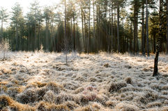 Sun beams on frosted grass. Sun beams cast trough the trees in the back on frosted grass Royalty Free Stock Photo
