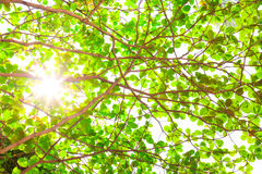 Sun beams and green leaves Royalty Free Stock Photos
