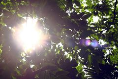 Sun beams and green leaves Royalty Free Stock Photo