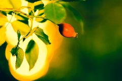 Sun beams and green leaves with wild rose berry. Summer sunlight Royalty Free Stock Images