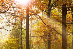 Sun beams through leafage in autumn. Forest Royalty Free Stock Images