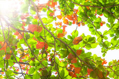 Sun beams and leaves Stock Photography