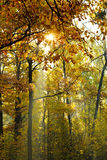 Sun beams lit through yellow crown in autumn Royalty Free Stock Image