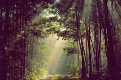 Sun beams pour through trees in foggy forest stock images