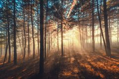 Sun beams pour through trees in foggy forest Royalty Free Stock Images